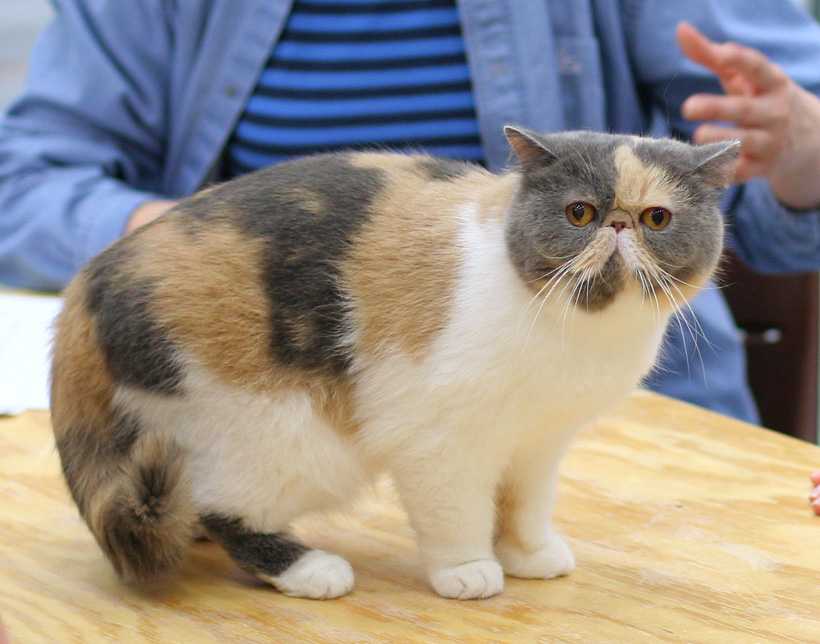 Black Exotic Shorthaired Cat