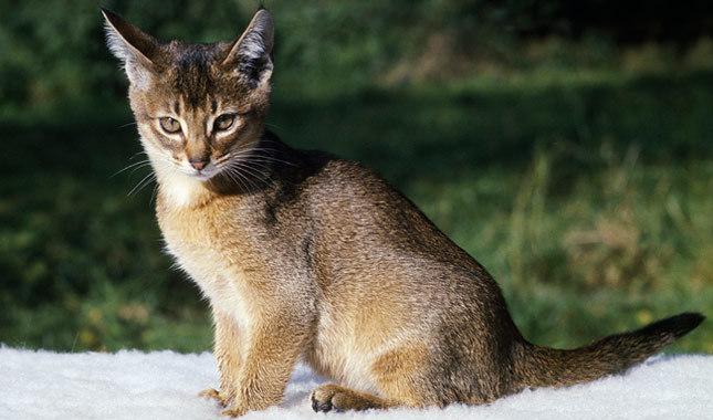 Abyssinian Cat | Cat Breed Selector