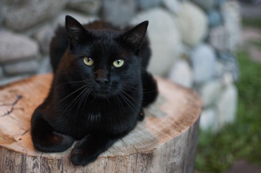 Black Cat Medium Coat