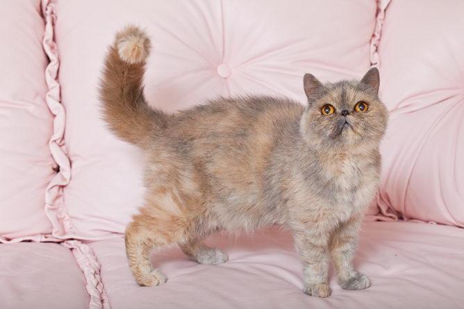 Lazy Man S Persian Cat