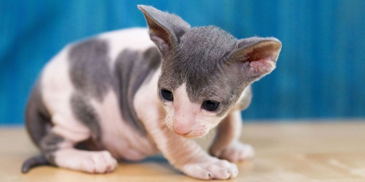 Names For A Hairless Cat