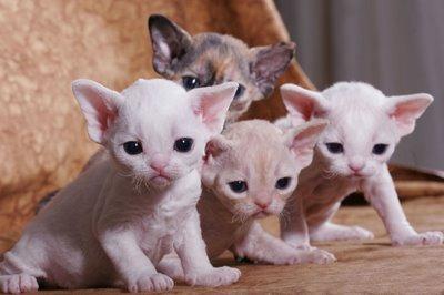 Cornish Rex Cat Breed Selector
