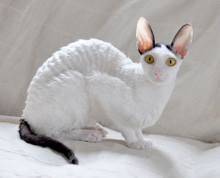 Soft Cat Food >> Cornish Rex Info, Kittens, Personality, Life Expectancy, Pictures, Video