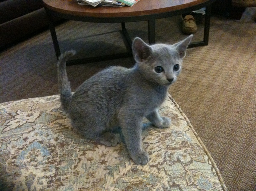 russian blue cat for sale - HD 1280×960