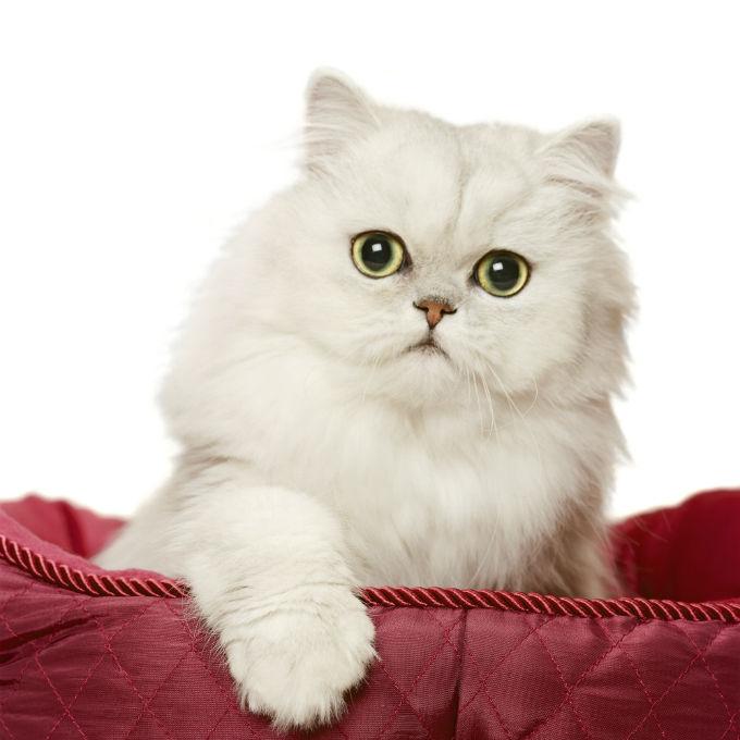Persian Cat: Cat Breed Selector