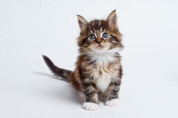 Maine Coon Cat Breed Selector