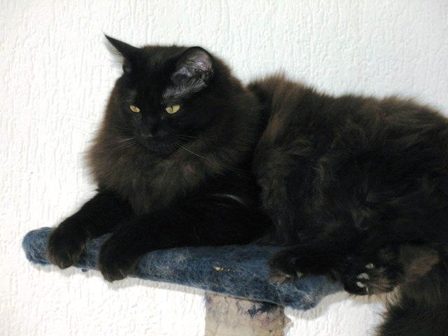 Ragdoll Cat Cat Breed Selector