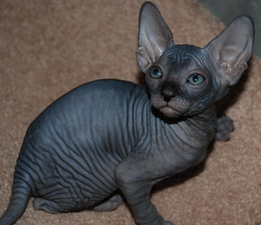 Sphynx | Cat Breed Selector