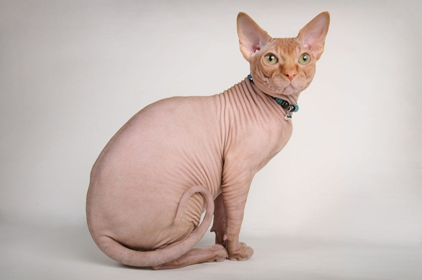 Cat Breed Selector