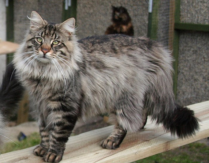 norwegian forest cat cat breed selector