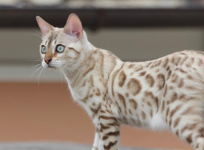 Bengal Cat Cat Breed Selector